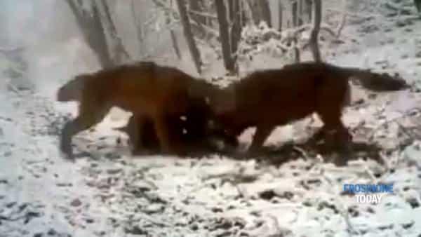 Carpineto Romano, i lupi sbranano un maiale di allevamento. Cresce la paura tra gli allevatori